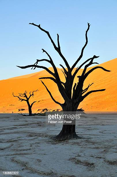 Dead trees in Deadvlei in the morning light, Namib Desert, Namib Naukluft Park, Namibia, Africa