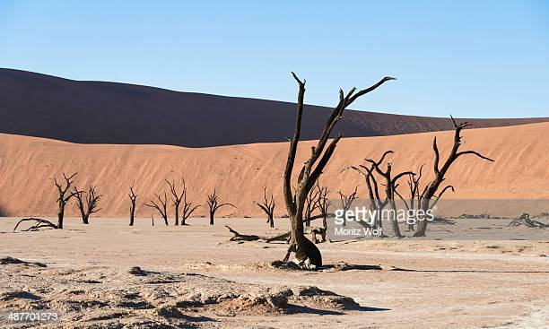 dead trees in dried-up salt and clay pan, dead pan, sossusvlei, unesco world heritage site, namib desert, namibia - arid stock pictures, royalty-free photos & images