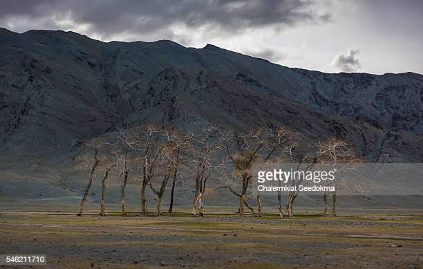Dead trees in Mongolia