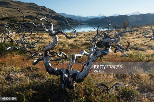 Dead trees killed in a wildland fire caused by an illegal camp fire in Torres del Paine National Park Patagonia Chile A UNESCO World Biosphere Reserve