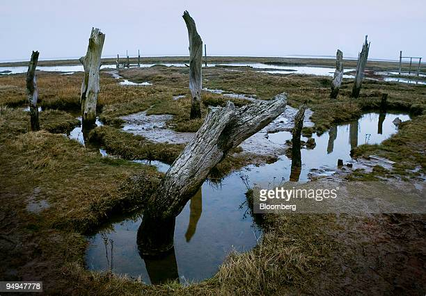 Dead trees stand in the salt marsh after suffering damage from sea erosion on the North Norfolk coast at Thornham Norfolk UK on Tuesday Feb 24 2009...