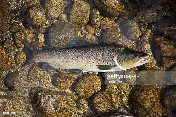 a dead trout fish on the ground - fish scale pattern ストックフォトと画像