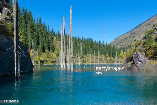 dead trunks of picea schrenkiana pointing out of water in kaindy lake or submerged forest, tien shan mountains, kazakhstan - peccio foto e immagini stock