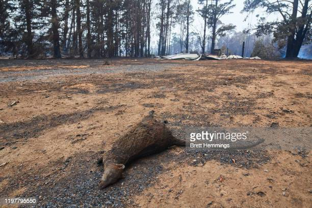 A dead wallaby pictured in the Wingello State Forest on January 06 2020 in Wingello Australia Cooler conditions and light rain has provided some...