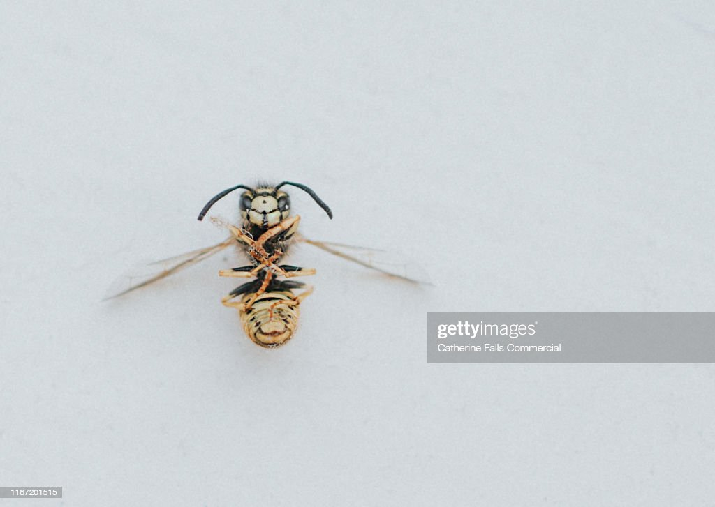 Dead Wasp : Stockfoto