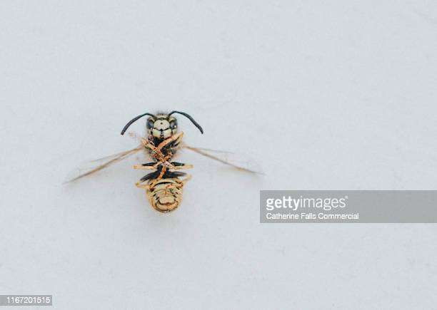 dead wasp - sting stock pictures, royalty-free photos & images