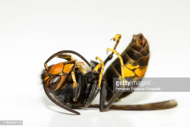dead wasp - japanese giant hornet stock pictures, royalty-free photos & images