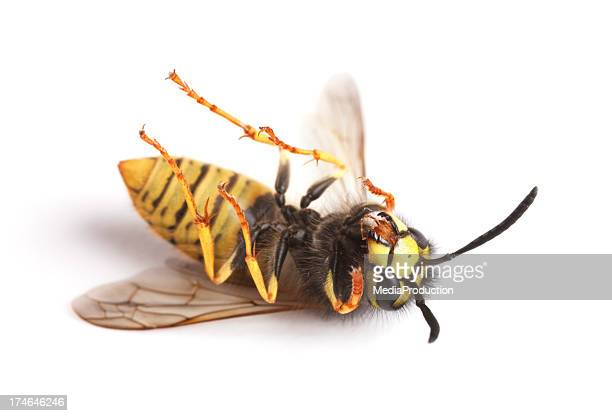 dead wasps - paper wasp stock pictures, royalty-free photos & images