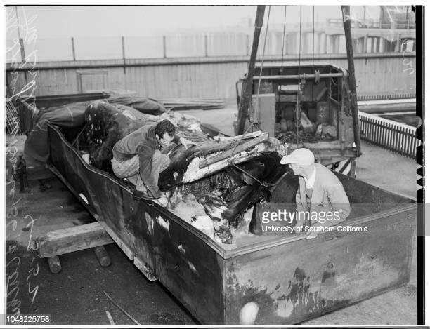 Dead Whale At Hermosa Beach Aquarium 3 April 1952hermosa Los Angeles California Usa