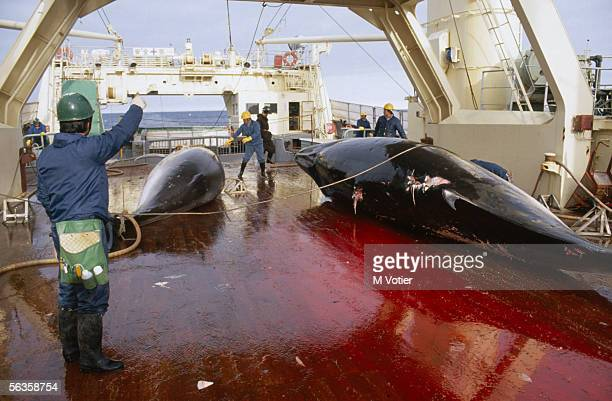Dead whales lie in a pool of blood aboard a Japanese factory ship carrying out scientific research in the Antarctic 1993