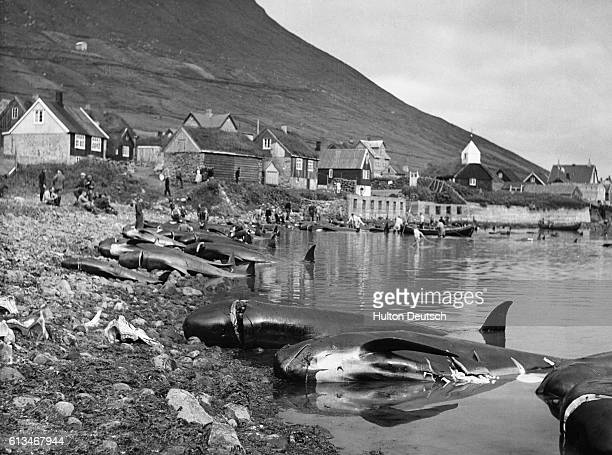 Dead whales lie on a shore waiting to be measured and checked before they are processed