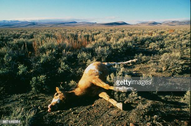 A dead Wild Mustang lays in Black Rock Canyon it died before it could be captured and offered for private adoption or transferred to pastures in the...