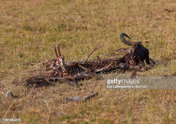 Dead wildbeest carcass, Rift Valley Province, Maasai Mara, Kenya on July 7, 2009 in Maasai Mara, Kenya.