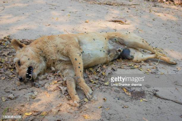 a dead wolf in forest all rotten and degrading. - dead dog stock pictures, royalty-free photos & images