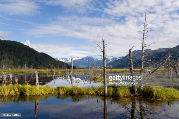 Dead wood in swamp, Kenai, Peninsula, Alaska, USA