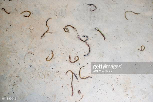 Dead worms outside a flooded home in Port Arthur Texas on Thursday September 1 2017 Stormweary residents of Houston and other Texas cities began...