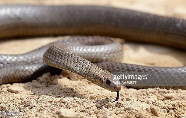 A deadly Australia eastern brown snake which has enough venom to kill 20 adults with a single bite is photographed in the Sydney suburb of Terrey...