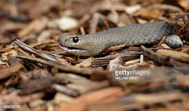 A deadly Australian eastern brown snake which has enough venom to kill 20 adults with a single bite is photographed in the Sydney suburb of Terrey...