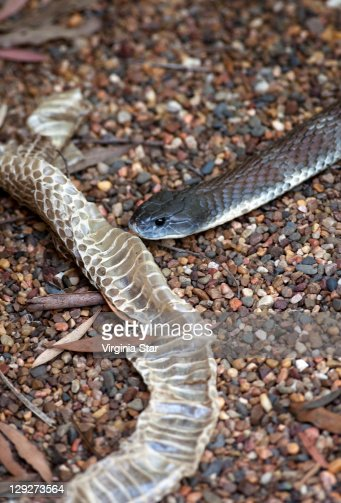 deadly australian tiger snake shed skin stock photo
