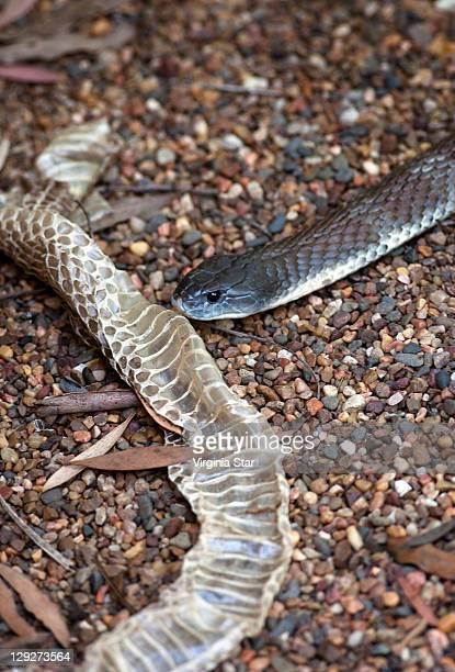 deadly australian tiger snake & shed skin - serpente tigre foto e immagini stock