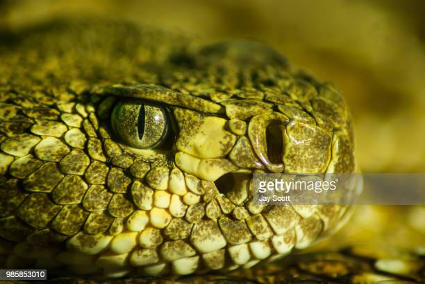deadly - eastern diamondback rattlesnake stock pictures, royalty-free photos & images