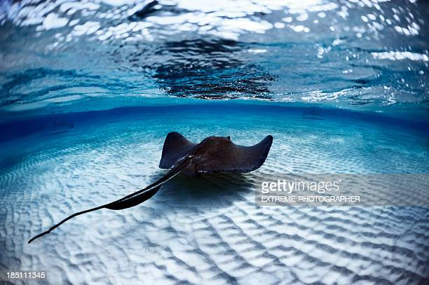 deadly stingray - stingray stock photos and pictures