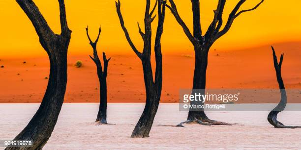 deadvlei acacia trees, sossusvlei, namibia - dead vlei namibia stock pictures, royalty-free photos & images