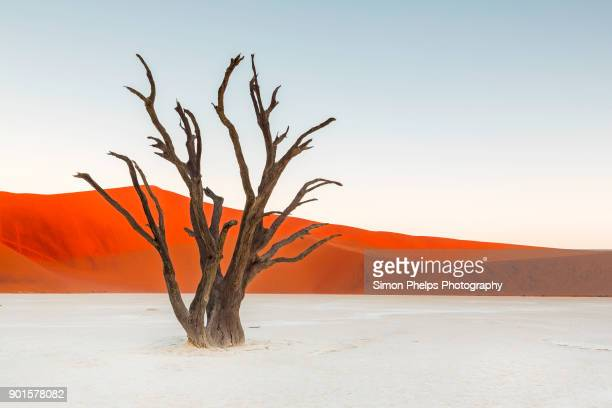 deadvlei sentinal, namibia - namib naukluft national park stock pictures, royalty-free photos & images