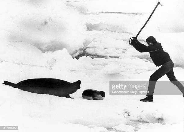 �Death has come a little late this year for the seal cubs in Canada�s North Atlantic they were late being born But it has come_an inescapable human...