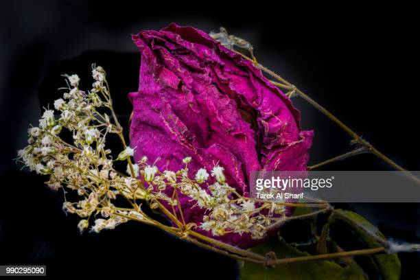death of a rose - tarek sharif stockfoto's en -beelden