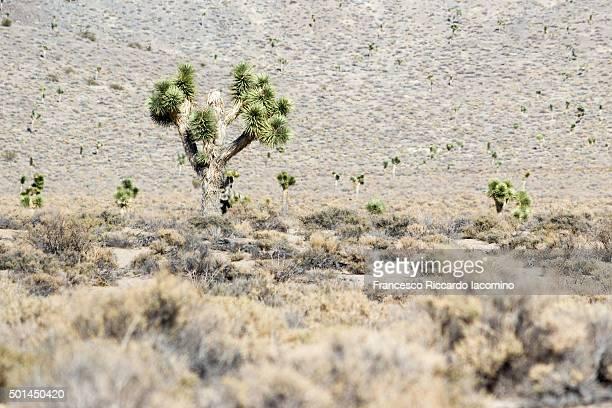 death valley, joshua trees - francesco riccardo iacomino united states foto e immagini stock