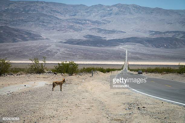 Death Valley National Park, Coyote standing in front of road
