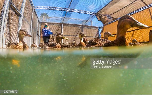 May 04: Debbie McGuire, executive director, feeds donated lettuce to a variety of ducks including some of the nearly 900 baby ducklings after a...