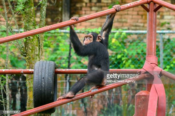 Dec. 19, 2020 -- A chimpanzee is seen at Zoo Negara near Kuala Lumpur, Malaysia, Dec. 19, 2020. Zoo Negara reopened to the public on Dec. 18 after...