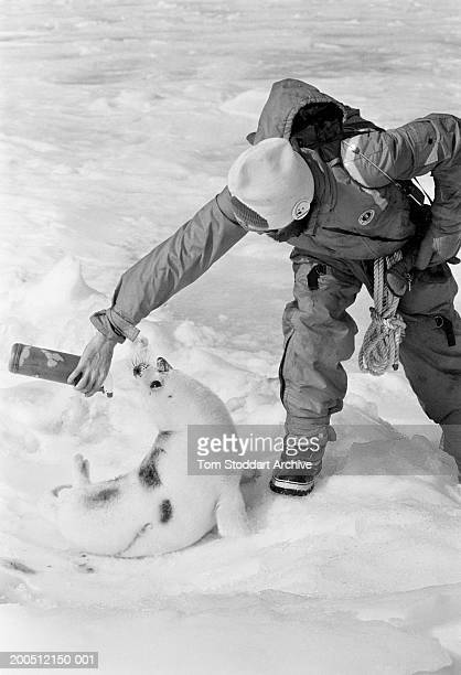 Dec 1988 Gulf of St Lawrence Canada campaigner from the Greenpeace ship Rainbow Warrior sprays green dye on the fur of the baby seal to make their...