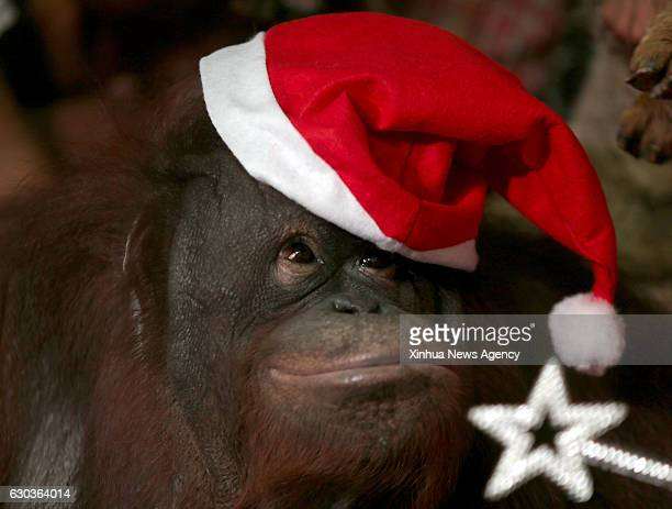CITY Dec 21 2016 An Orangutan named Pacquiao wears a Santa hat during the Animal Christmas Party inside Malabon Zoo in Malabon City the Philippines...