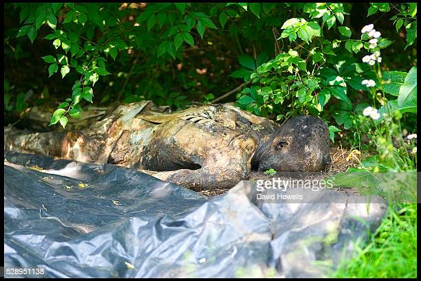 A decaying body at the University of Tennessee's Anthropological Research Facility known as the The Body Farm in Knoxville where up to 80 bodies at a...