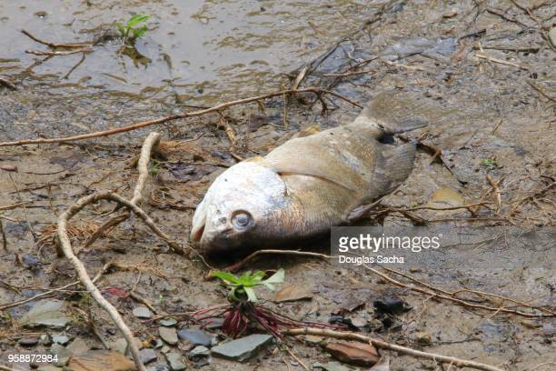 Decaying fish on the muddy shore