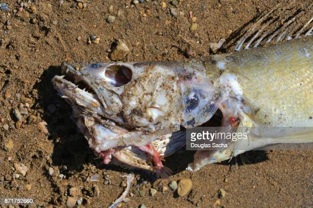 Decaying fish on the seashore