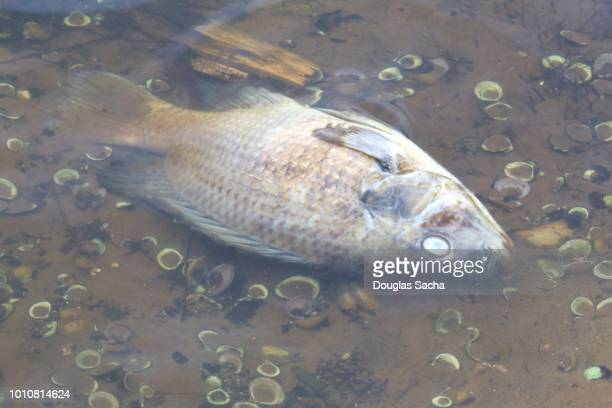 decaying fish on the shallow water - fish skeleton stock photos and pictures