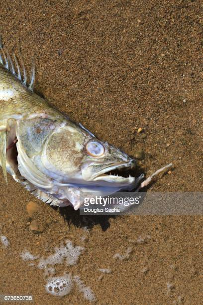 decaying fish on the shore - fish skeleton stock photos and pictures