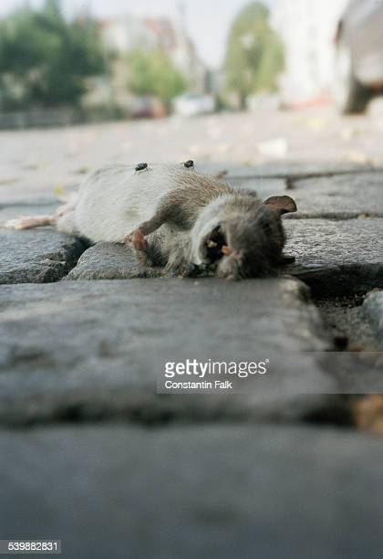 A decaying rat