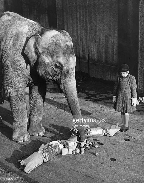 A girl watches Dumbo the elephant opening its Christmas cracker at London Zoo Regents Park