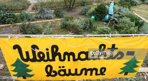 Christmas trees are scattered all over the world on the grounds of a closed sales stand for Christmas trees Photo Arne Dedert/dpa