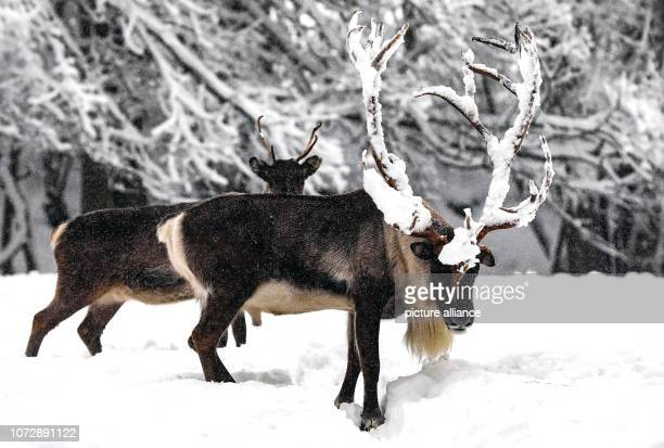 Reindeers stand in the Geising Wildlife Park during snowfall Photo Tino Plunert/dpaZentralbild/ZB