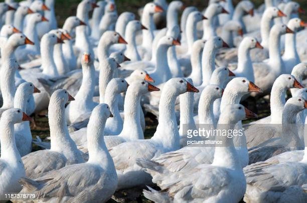 09 December 2019 Brandenburg Ahrensfelde A herd of geese graze on the Rahlf farm in Mehrow Photo Soeren Stache/dpaZentralbild/dpa