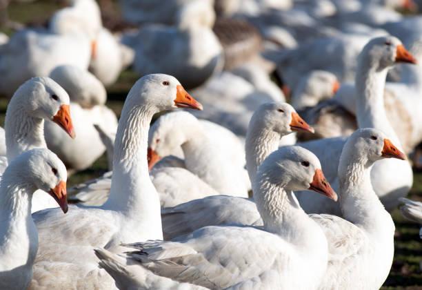 DEU: Geese before Christmas