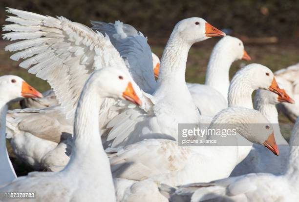 09 December 2019 Brandenburg Ahrensfelde Geese graze on the Rahlf farm in Mehrow Photo Soeren Stache/dpaZentralbild/dpa
