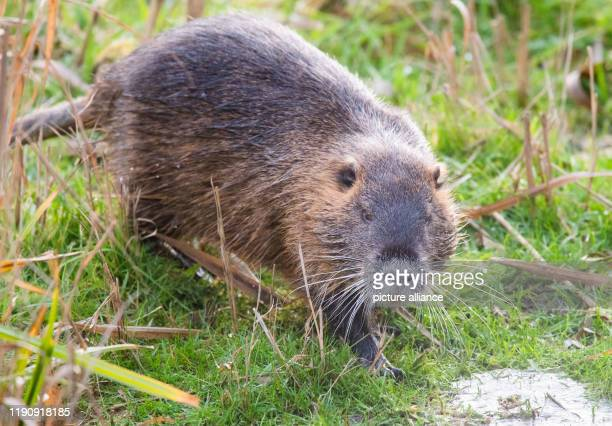 30 December 2019 Lower Saxony Ronnenberg A nutria also known as beaver rat or marsh beaver lingers at the stacking ponds near Vörie in the Hannover...