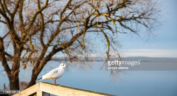 December 2019, Lower Saxony, Wunstorf: A seagull stands on a bridge railing at the Steinhuder Meer in the sun. Photo: Moritz Frankenberg/dpa